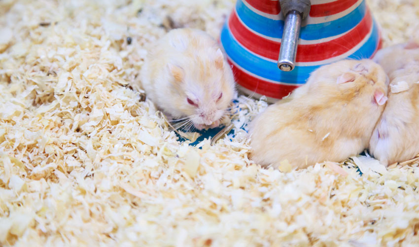 Hamster Colors | Getting A Hamster | Hamsters | Guide | Omlet