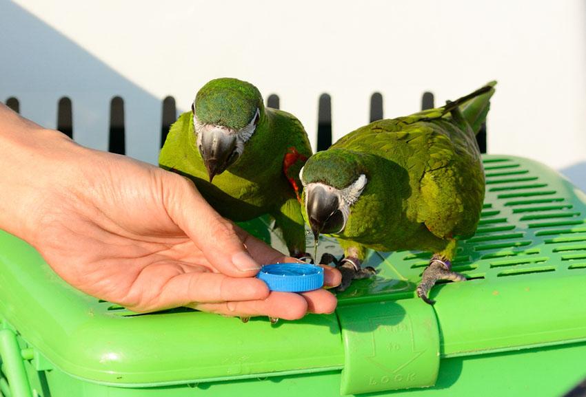 Hahn's Macaws hand feeding