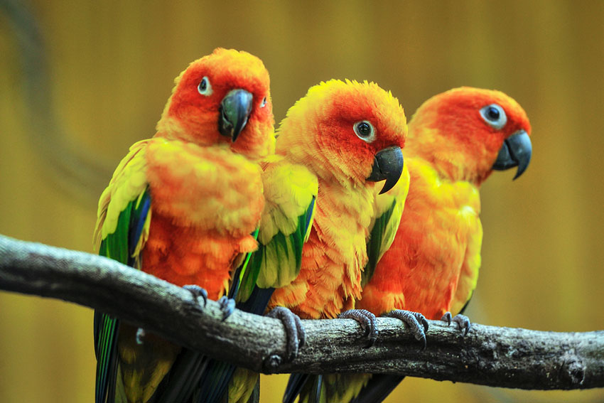 Sun conures need plenty of space in a cage
