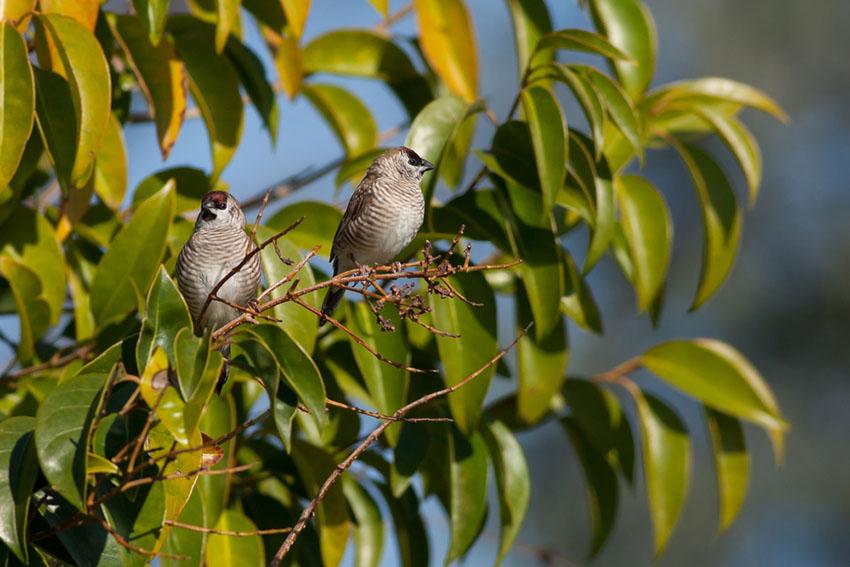 Plum-headed finch pair