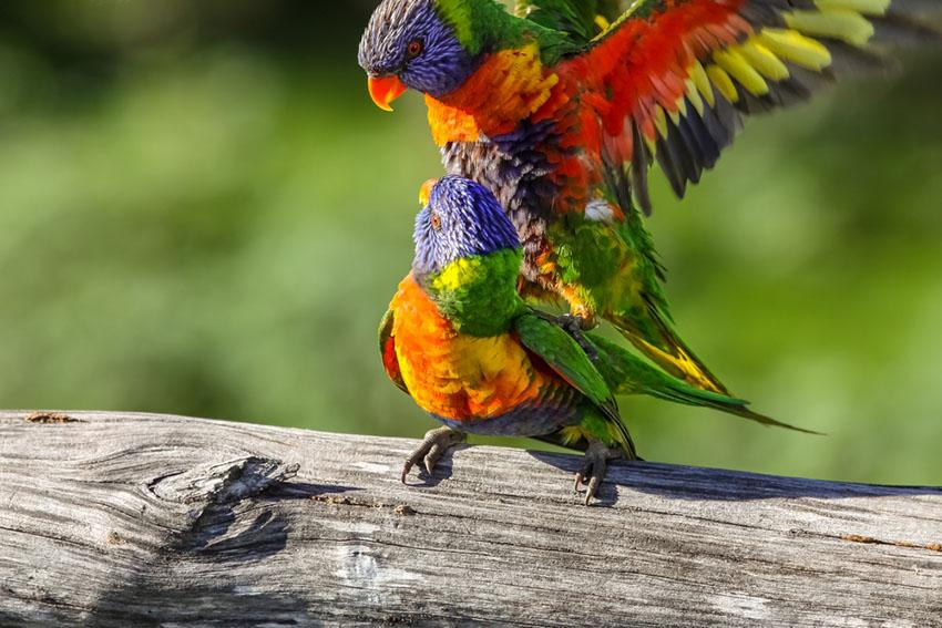 Rainbow lorikeets mating