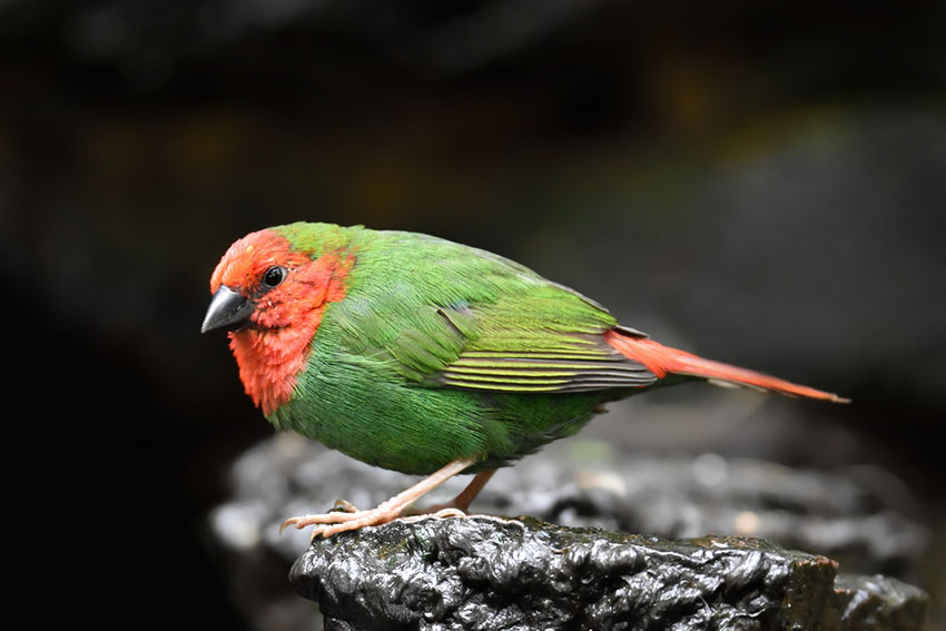 Red-throated Parrotfinch