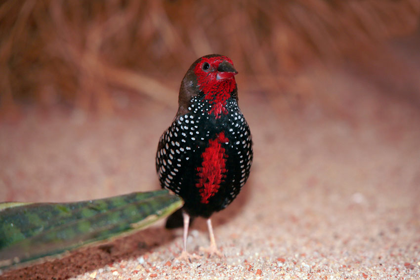 strawberry finch on aviary floor