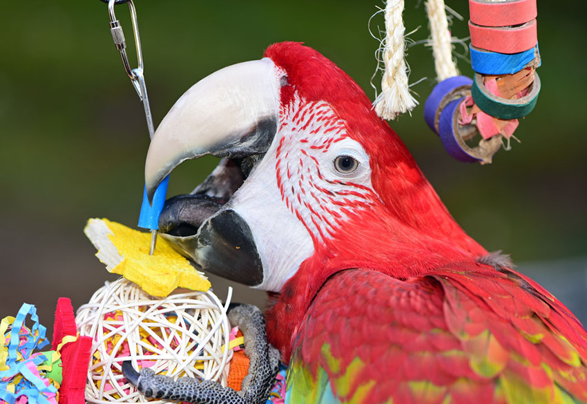Red macaw with parrot toys