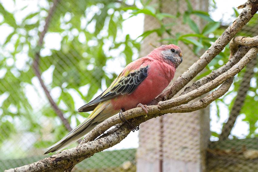 A Bourke's Parakeet
