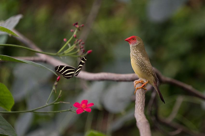 Star Finch in wild
