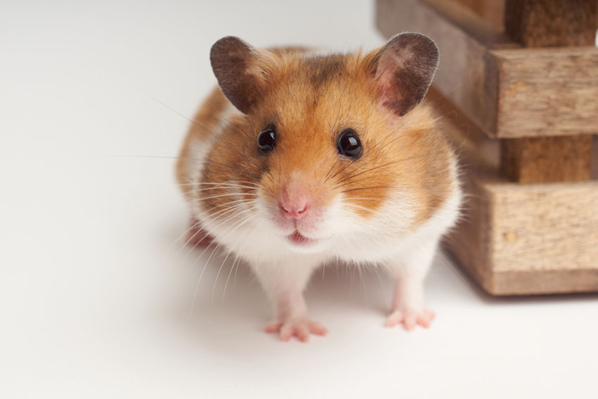 hamsters are rodents