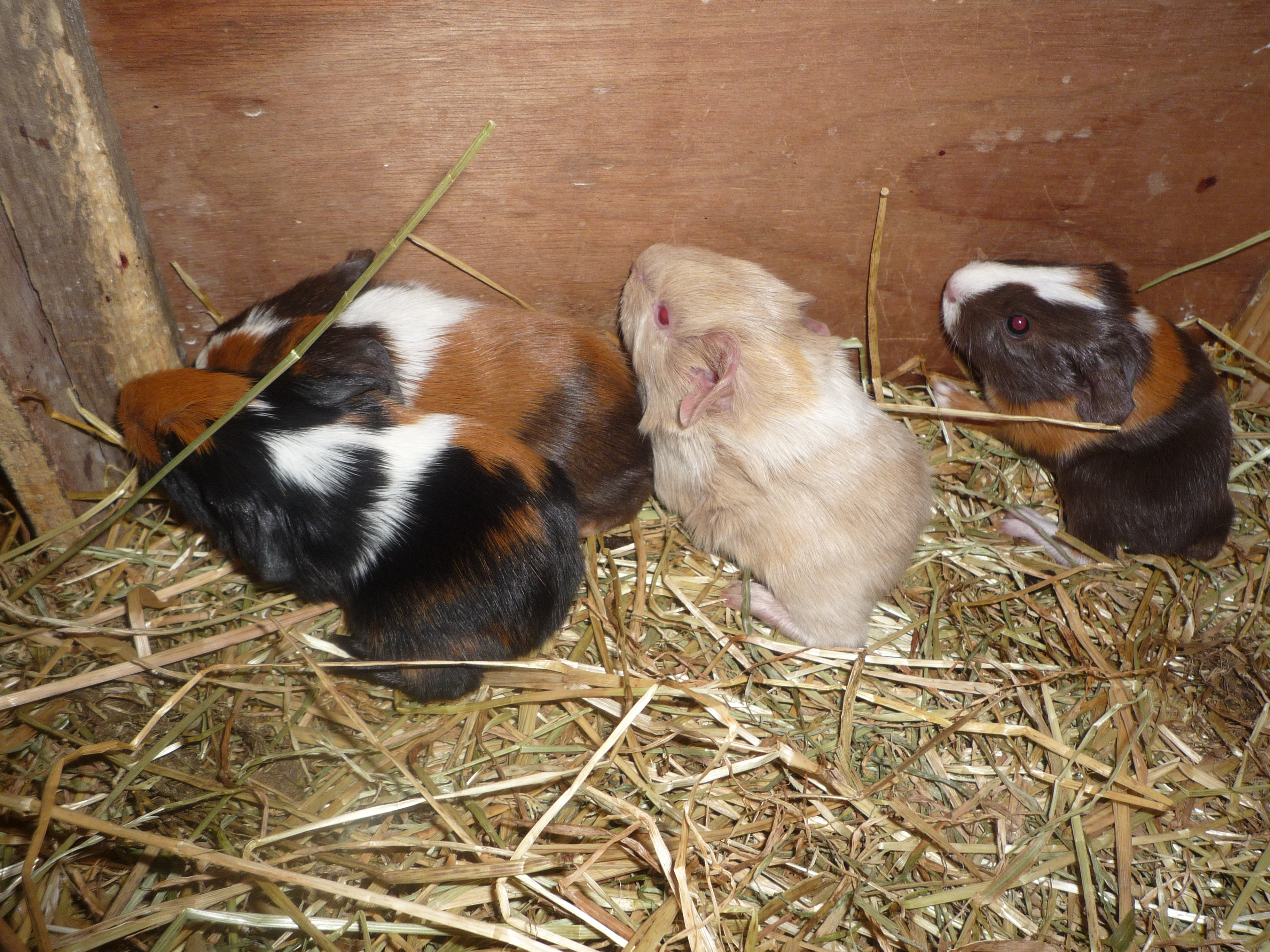 Abyssinian For Sale | Guinea Pigs | Breed Information | Omlet