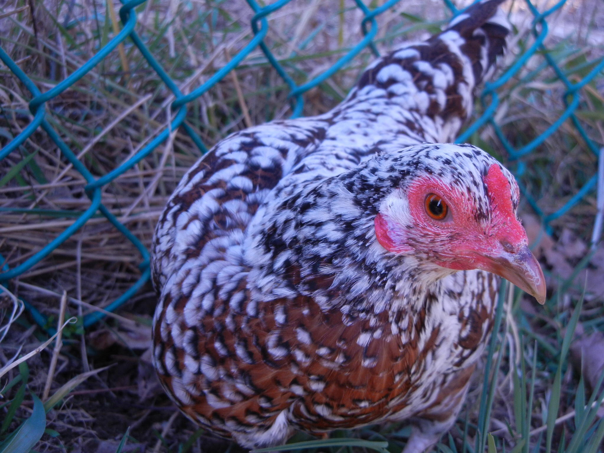 Asil For Sale | Chickens | Breed Information | Omlet