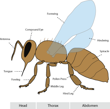 Bees | About Bees | anatomy | Bee anatomy | Guide | Omlet US