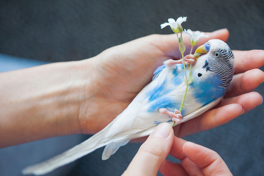 parakeet cleanliness