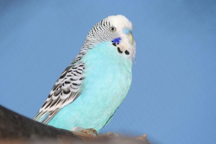 Blue cobalt budgie parakeet