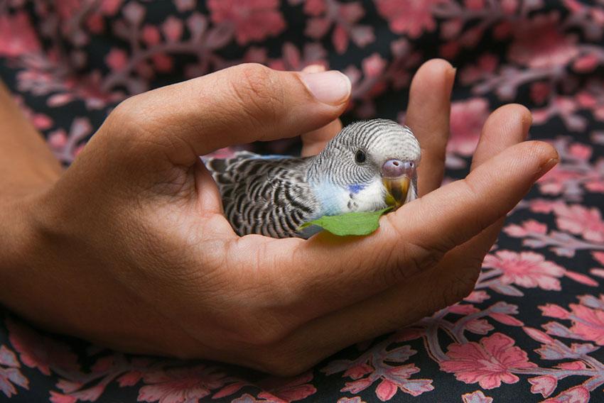parakeet in hand