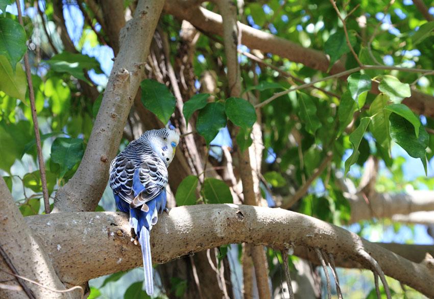 Parakeets in aviary