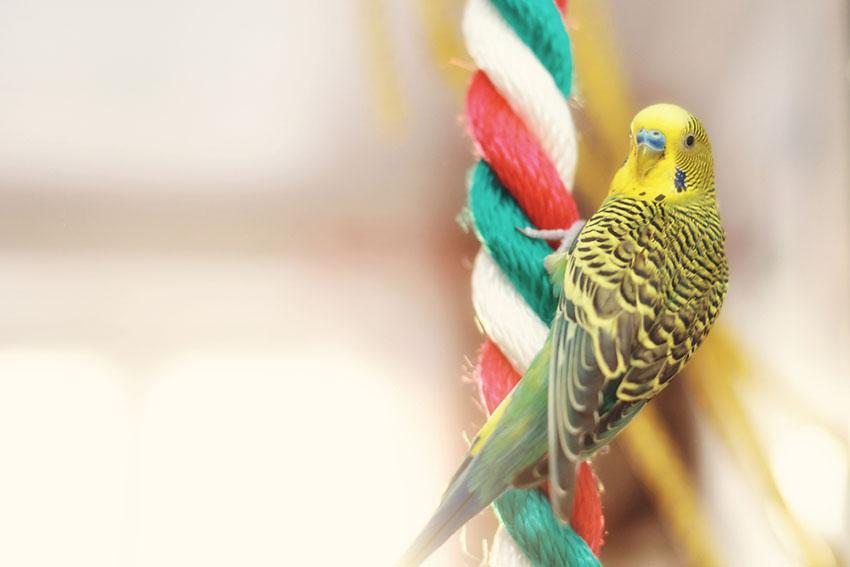 Parakeets ladder