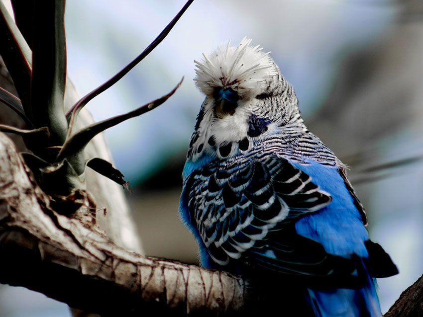 parakeet lice
