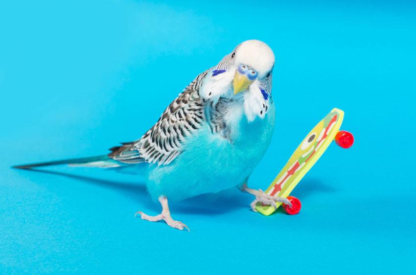 parakeet skateboarding