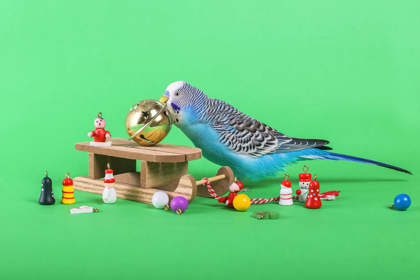 parakeets are very clever
