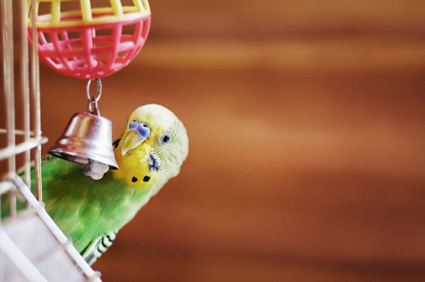 Talking parakeets