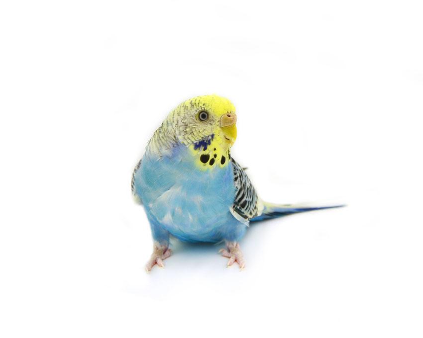 Yellow Face parakeet