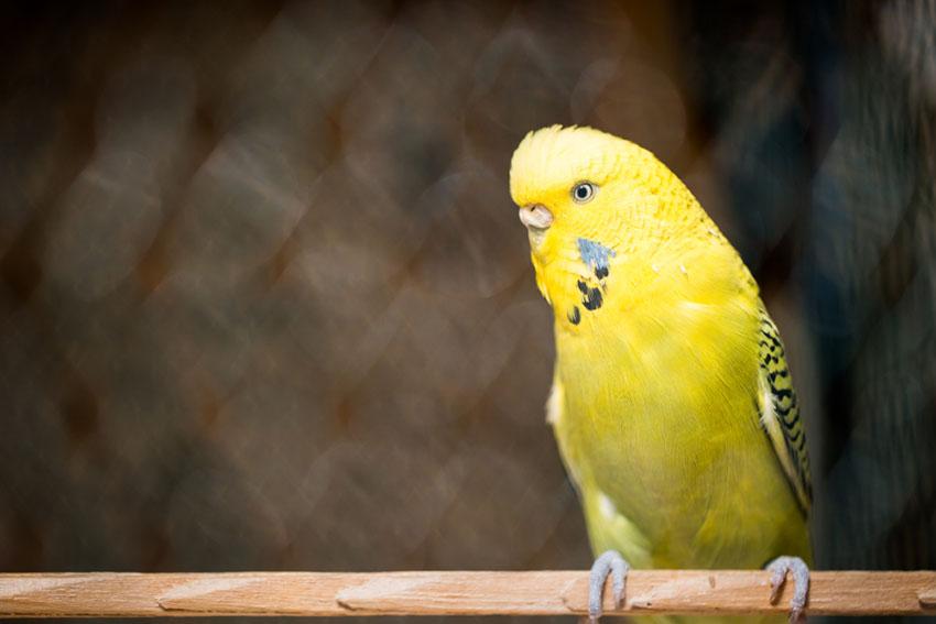 parakeet talking