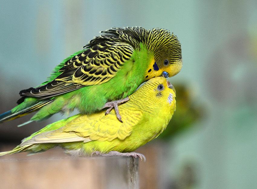 parakeet mating