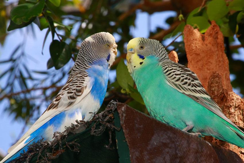 Parakeet feeding mate