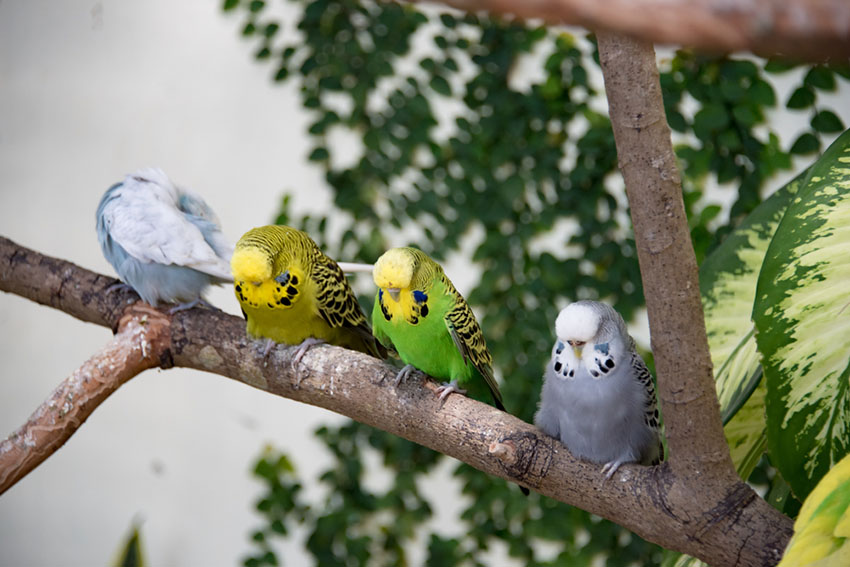 parakeets sleeping on tree branch