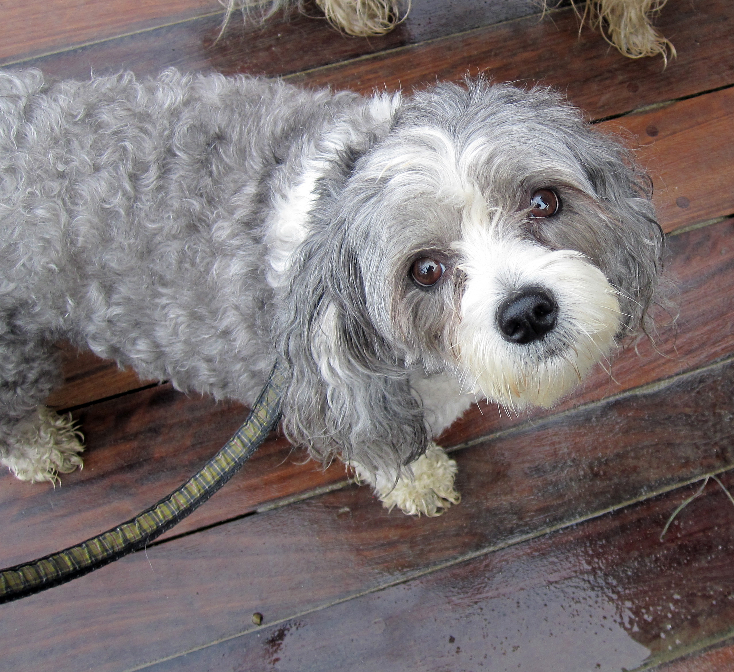 Chinese Crested | Dogs | Breed Information | Omlet