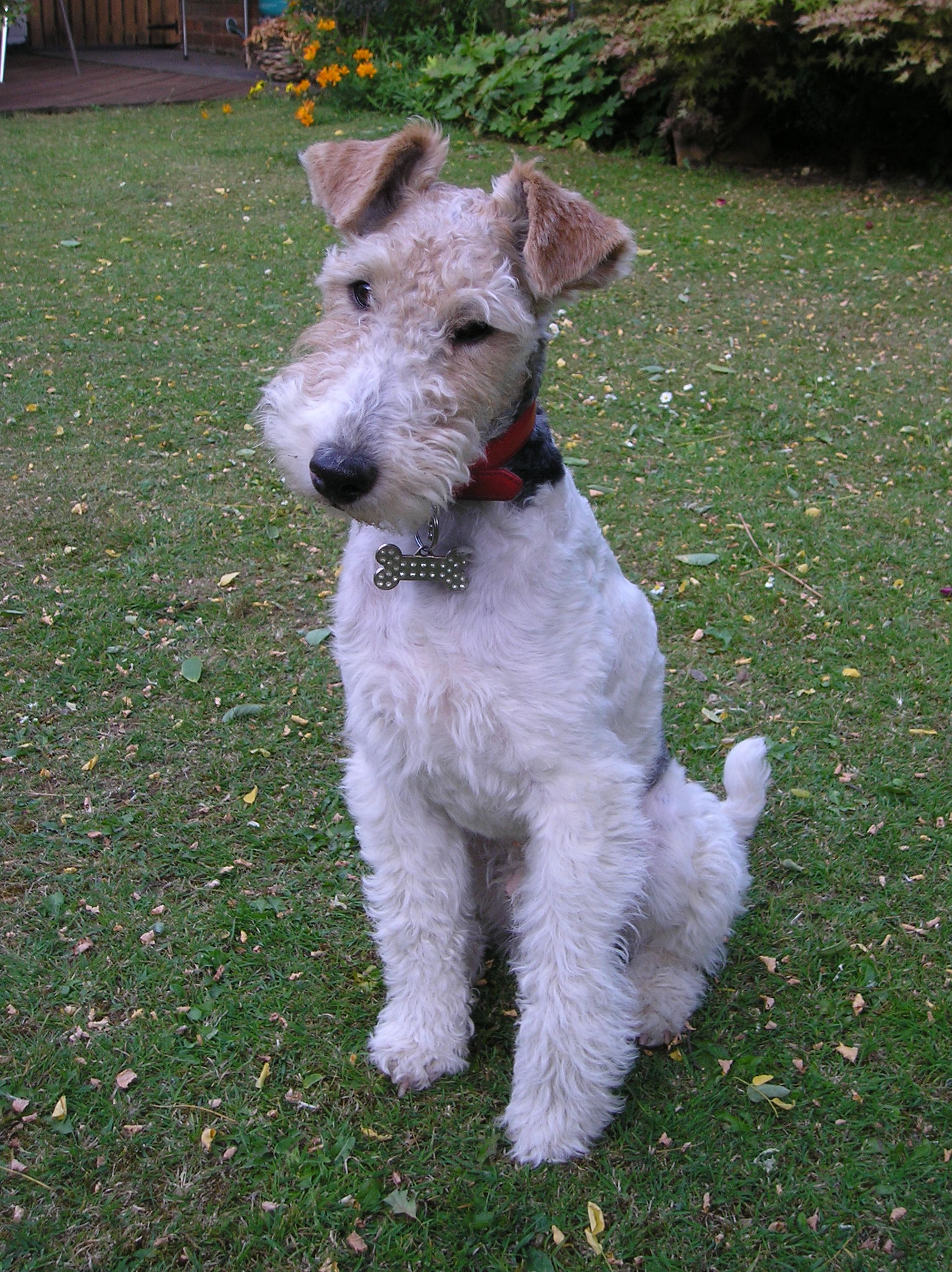Fox Terrier Wire Dogs Breed Information Omlet