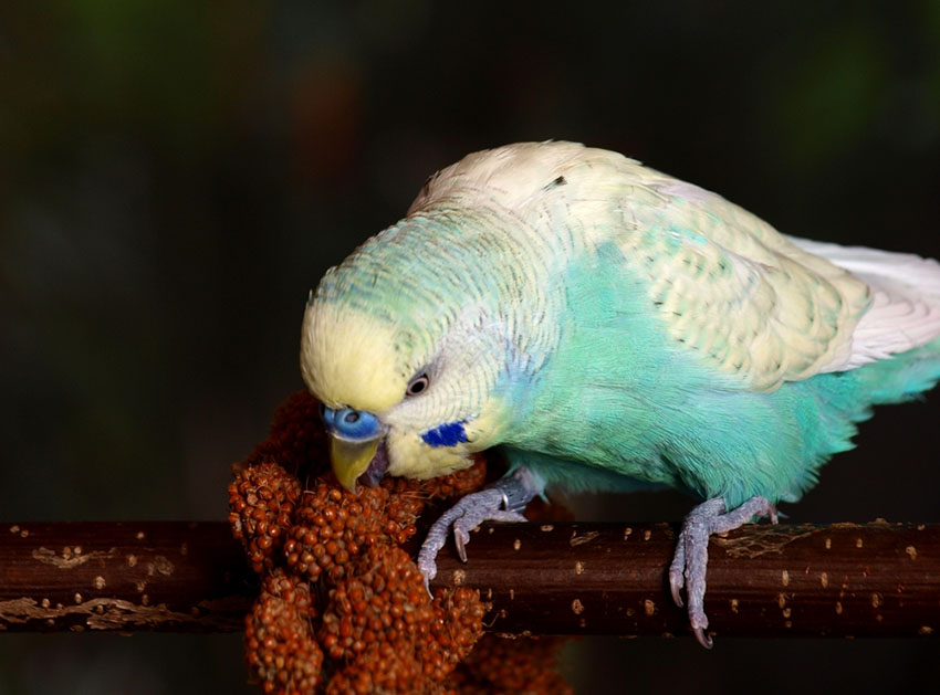 Parakeet eating millet