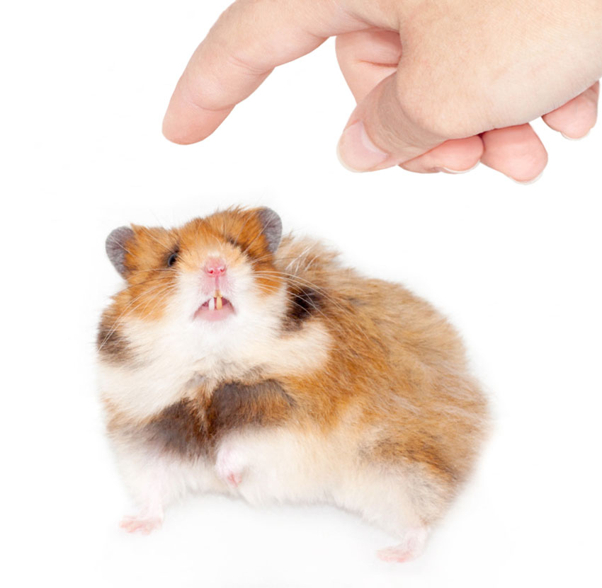 Hamster Behavioral Problems | Hamster Illnesses | Hamsters