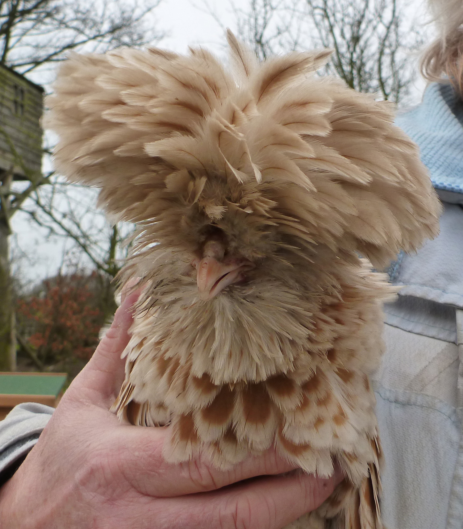 For Sale Fishers >> Frizzle For Sale | Chickens | Breed Information | Omlet