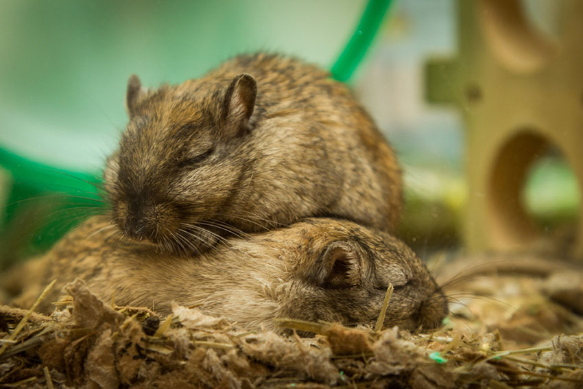 gerbils nocturnal sleep