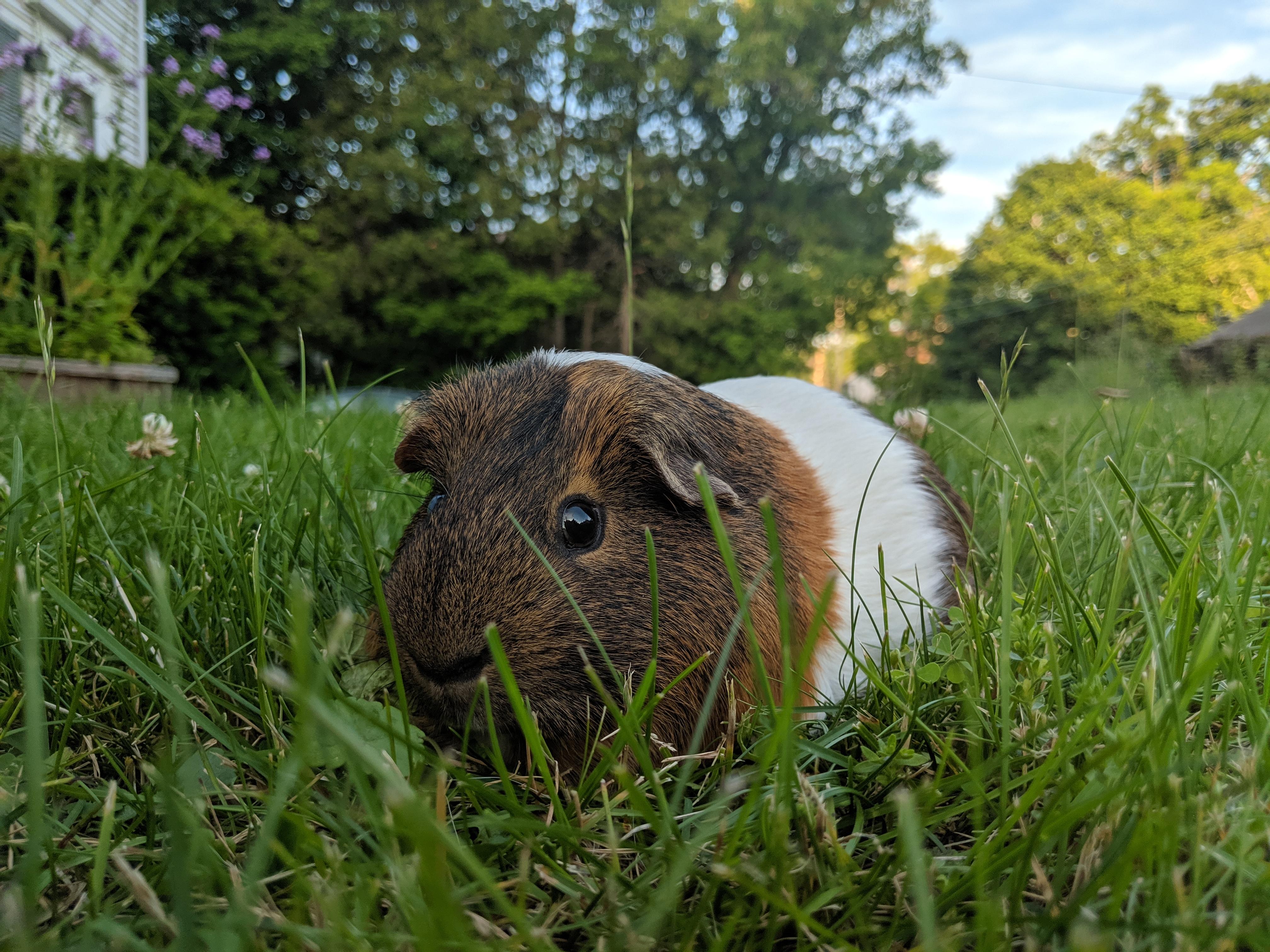 Where did Guinea Pigs Originate? | Guinea Pigs | Guinea Pigs