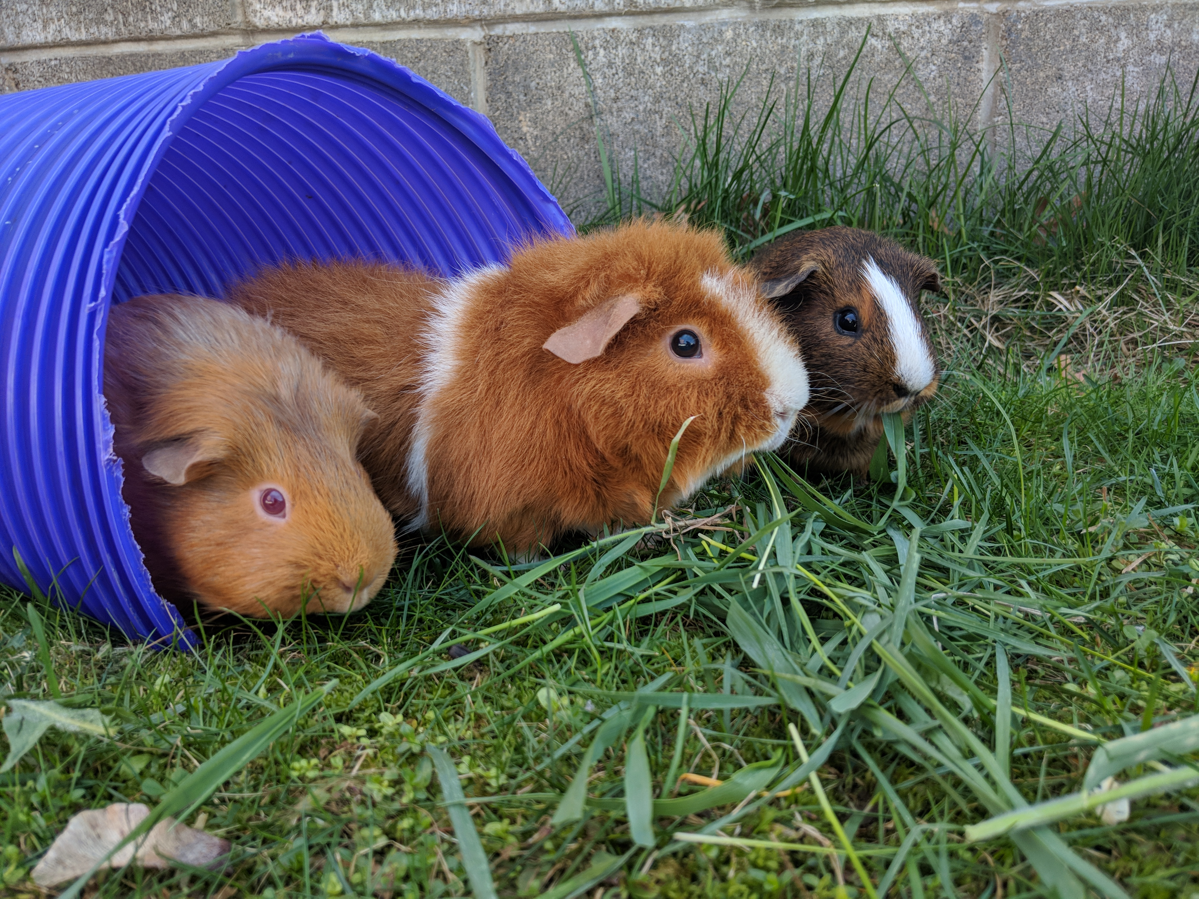 where did guinea pigs come from guinea pigs guinea pigs guide