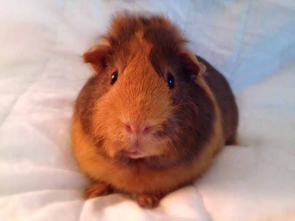 Guinea Pigs | Guinea Pigs | Guide | Omlet US