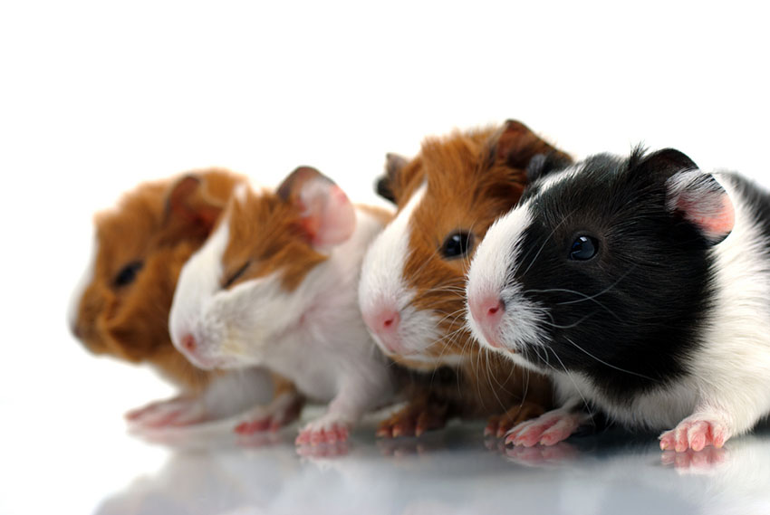 Guinea pig different varieties