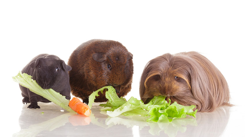 Different colors in Guinea pig breeds