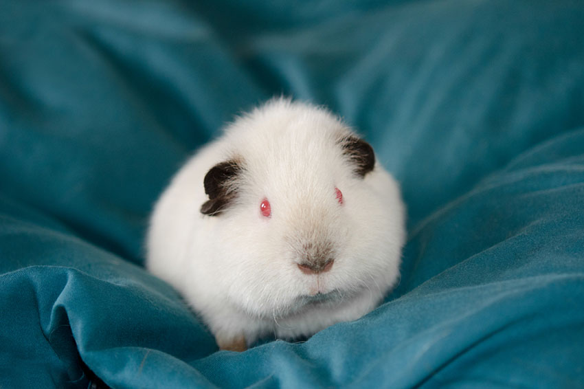 Guinea pig adoption