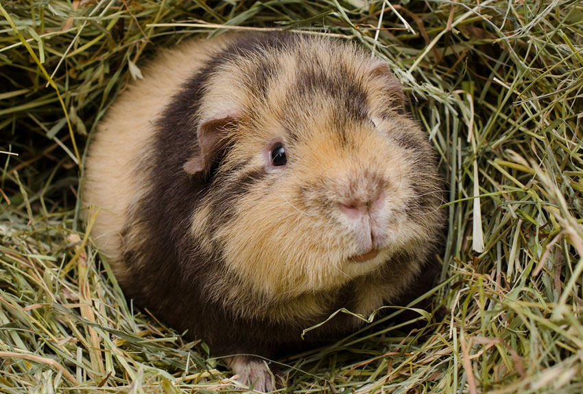 Brindled Teddy Guinea pig breed