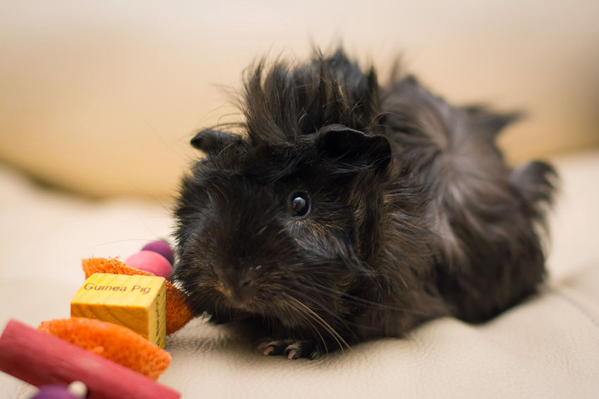 Guinea pig chew toys