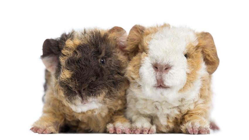 Guinea pig pairs
