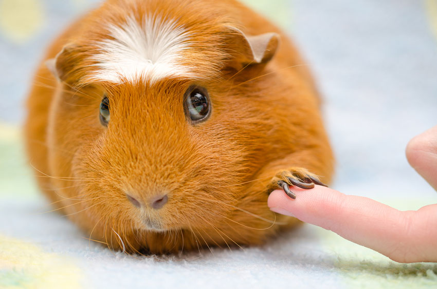 Guinea pig medicine and pills