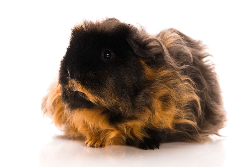Longhaired Merino Guinea pig breed