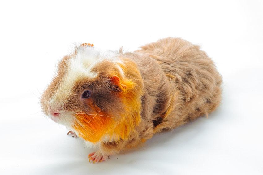 Guinea pig genders