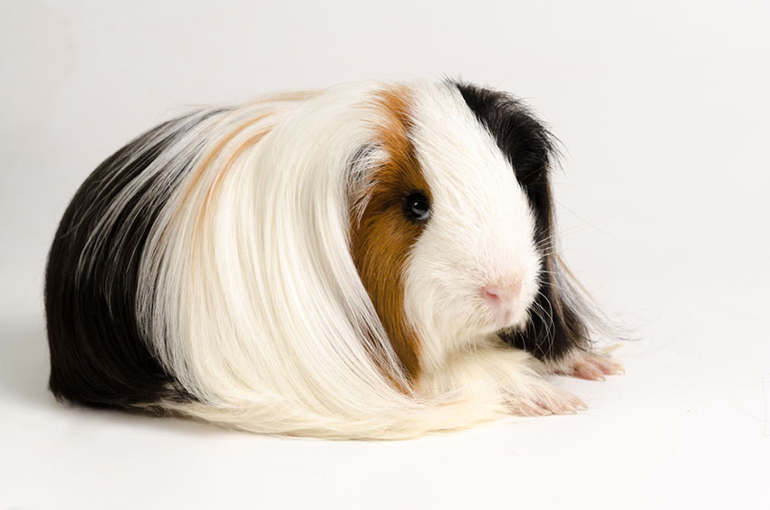 groomed Peruvian Guinea pig