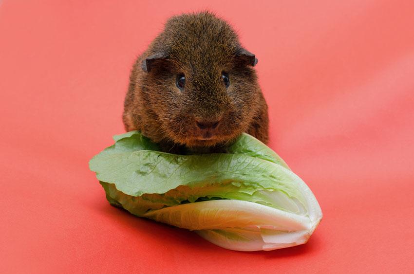 Guinea pig glossary