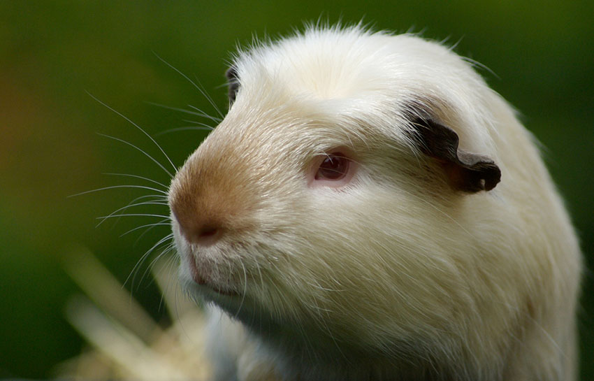 Satin Guinea pig breed