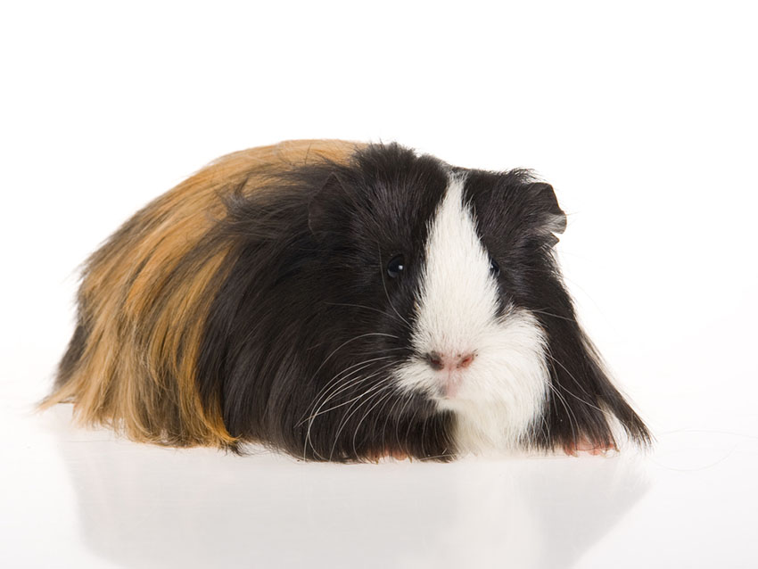 long-haired Guinea pig breeds